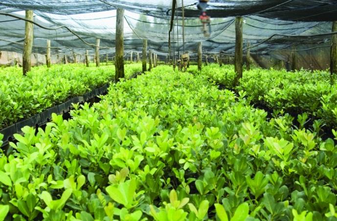Cultivo da erva-mate em estufa